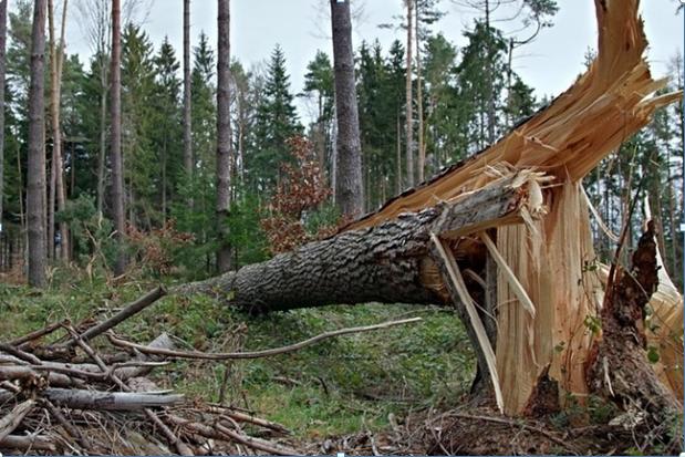 Vents et risques liés aux pins