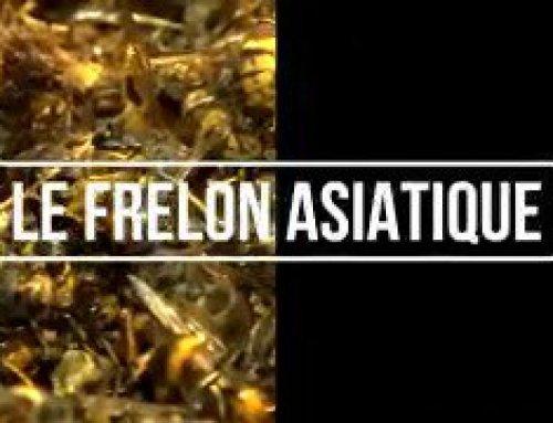 Lutte contre le frelon asiatique