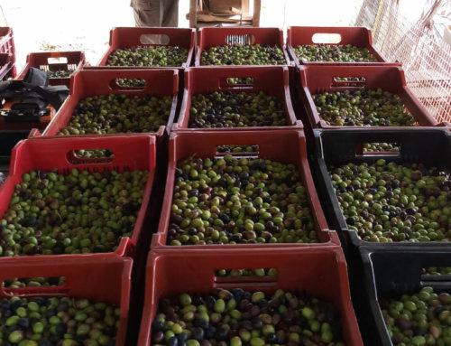 Cueillette des olives, une bonne année!