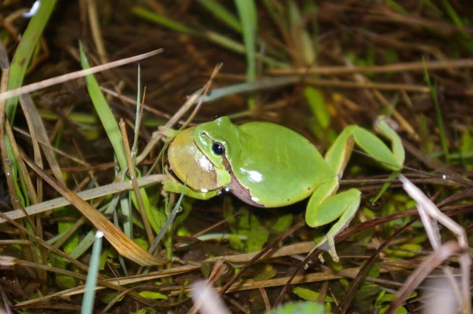 Fenêtre sur la biodiversité - La Rainette méridionale