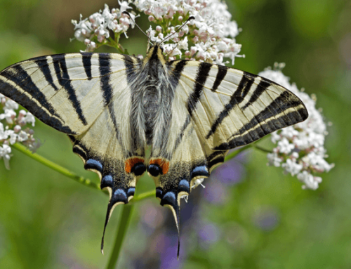 Fenêtre sur la biodiversité – Le Flambé