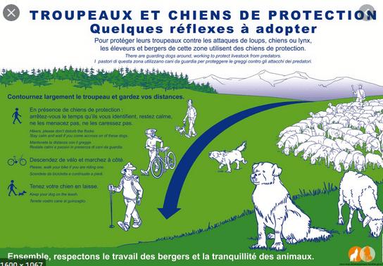 Déconfinement et conseils à l'approche des troupeaux et chiens de bergers